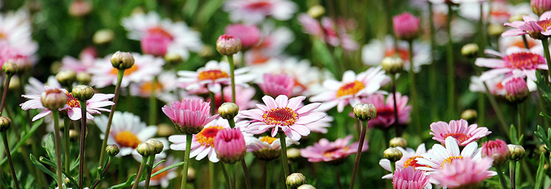 Plantation de fleur pres de Cambrai
